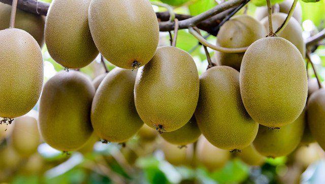 Kiwifruit Picking