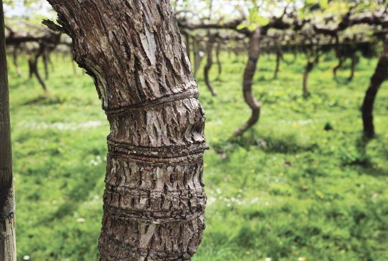 Kiwi Fruit Trunk Girdling
