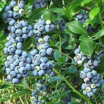 Blueberry Worker