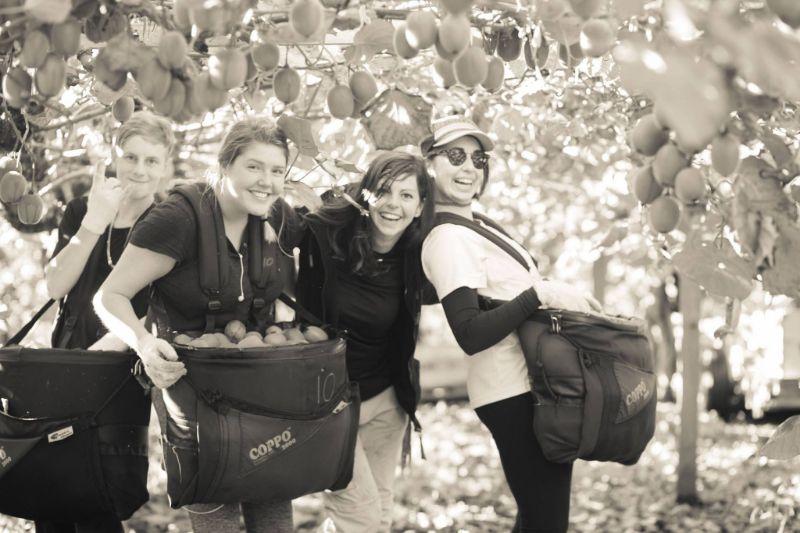 Kiwi Fruit Picking 2020