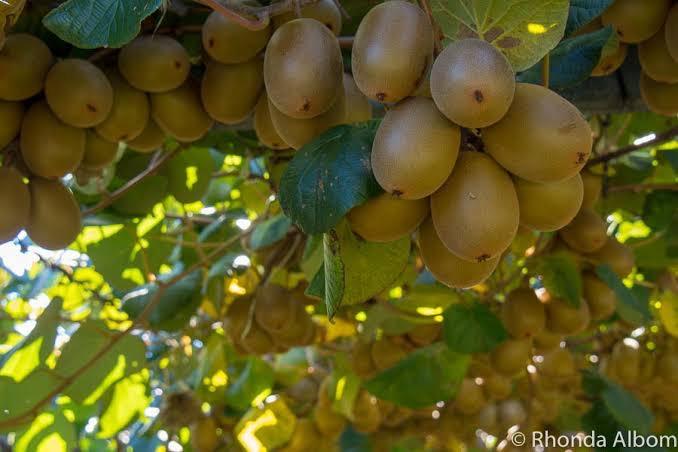 Kiwi Fruit Work