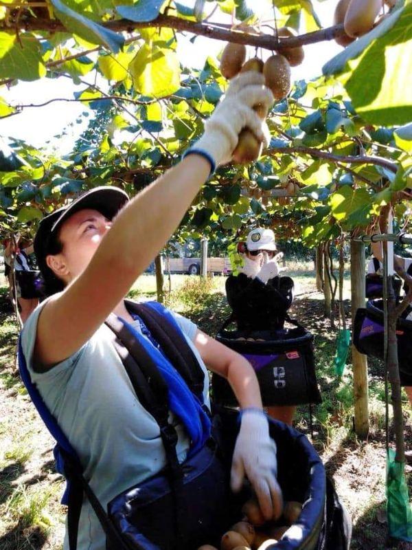 Kiwi Fruit Picking
