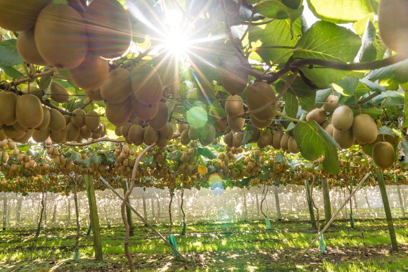 Kiwifruit Pickers
