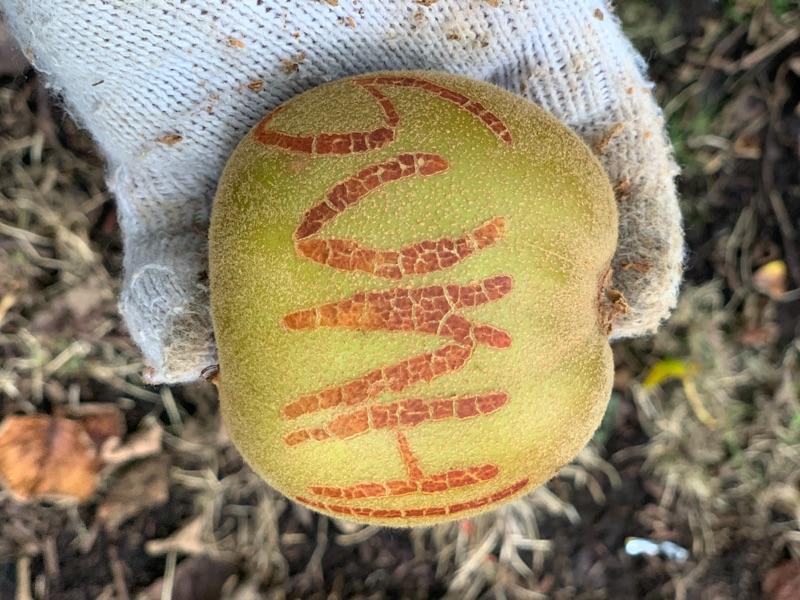 Kiwifruit Orchard Work $21.60 (including Holiday Pay)