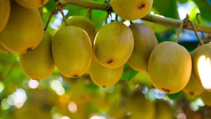 Kiwi Fruit Pickers